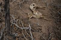The carcass of a goat in the town of Uaua, in the part of Bahia State declared to be in a drought emergency, January 16, 2013.